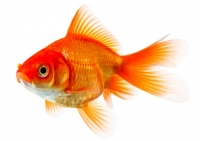 Aquarium Fish sale in Jaffna-Srilanka