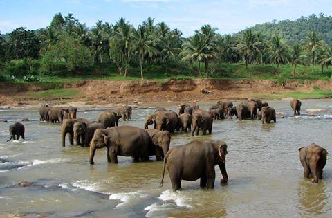 Pinnawala Elephant Orphant
